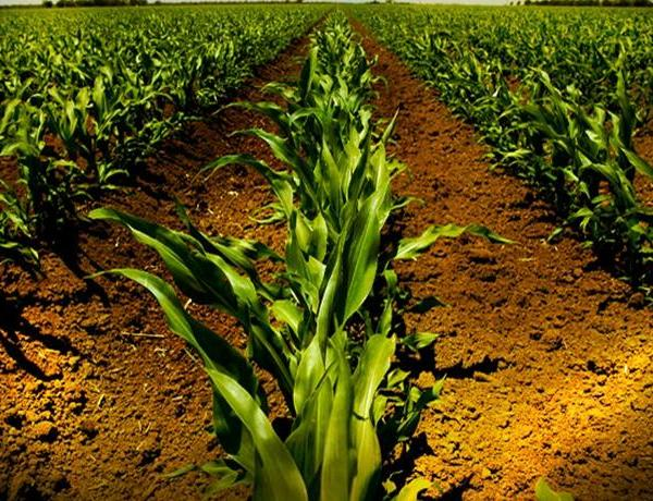 Corn Prices on the Rise_-1149412857316293197