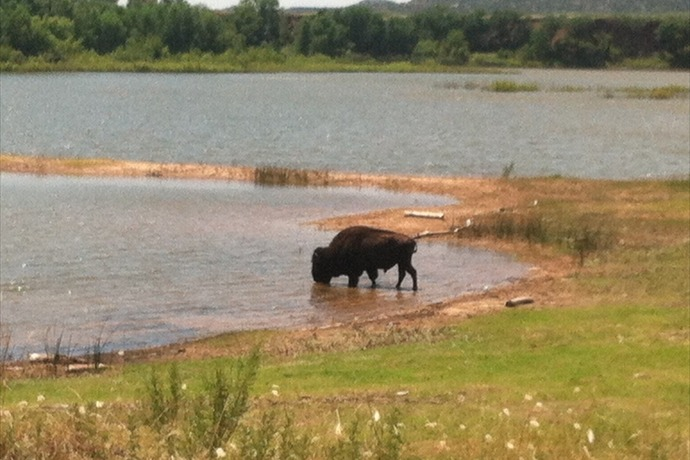 Caprock Canyon's State Park Bison_-1829839328573043819