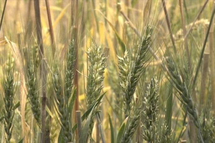 Wheat_7357819203444361182
