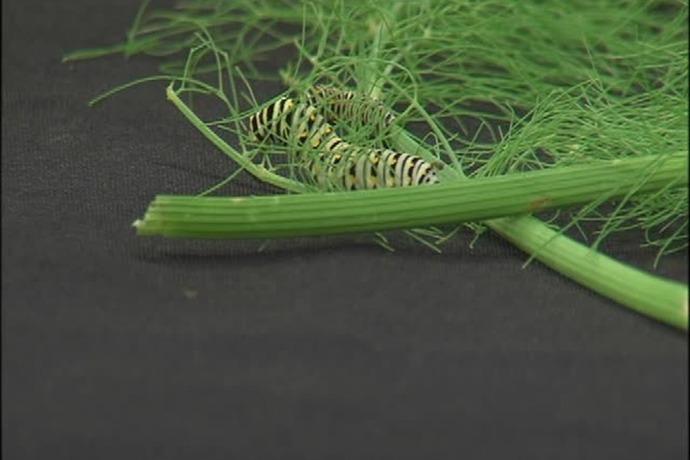 Catterpillars_-7956199491503700213
