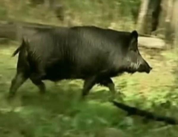 Wild Hogs Invade Houston_-8582363945198402940