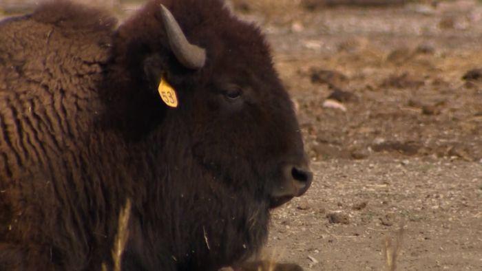 Bison Return to Colorado