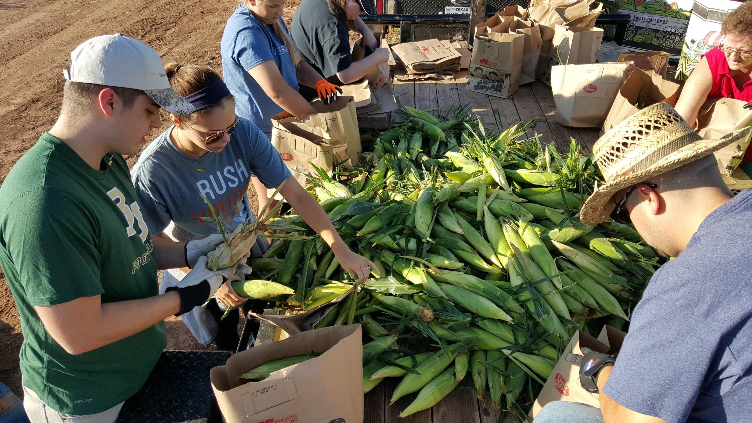 Aww Shucks Corn Harvest.jpg