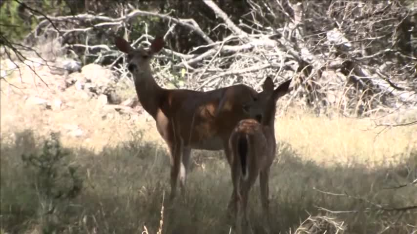 Texas drivers are more likely to hit a deer this year- study_09046831-159532-54787063