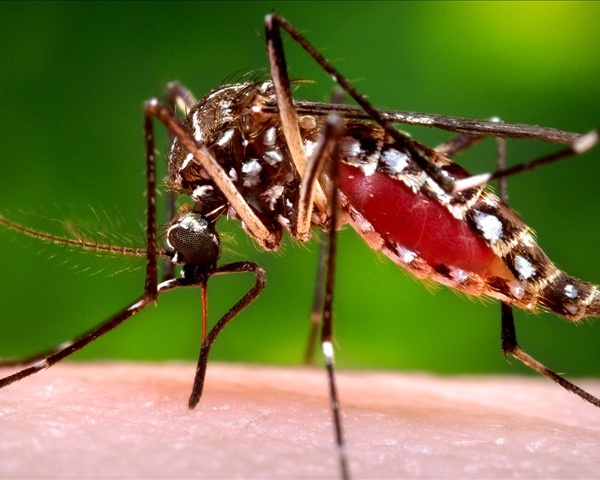 WEST NILE mosquito.jpg