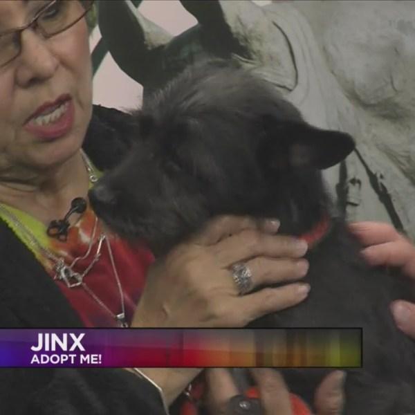SPCA Today - Jinx