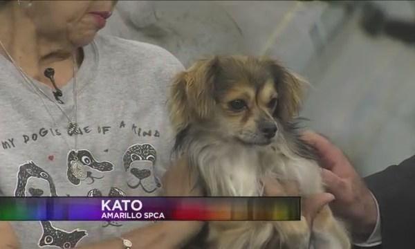 SPCA Today - Kato
