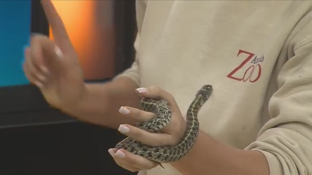 Wild In Amarillo: The Checkered Garter Snake