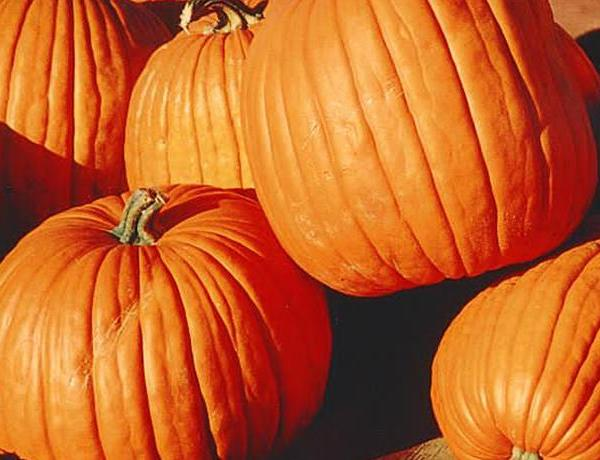 Maxwell's Pumpkin Farm is Ready for Visitors _-8468508442544290226