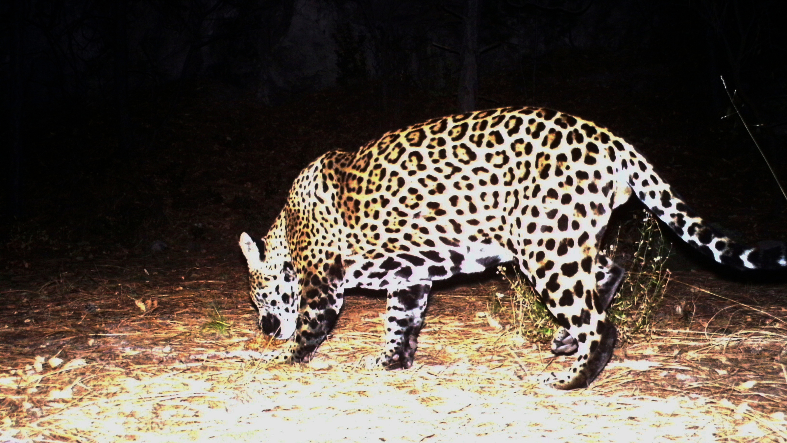 Jaguar Recovery Report_1556190447201