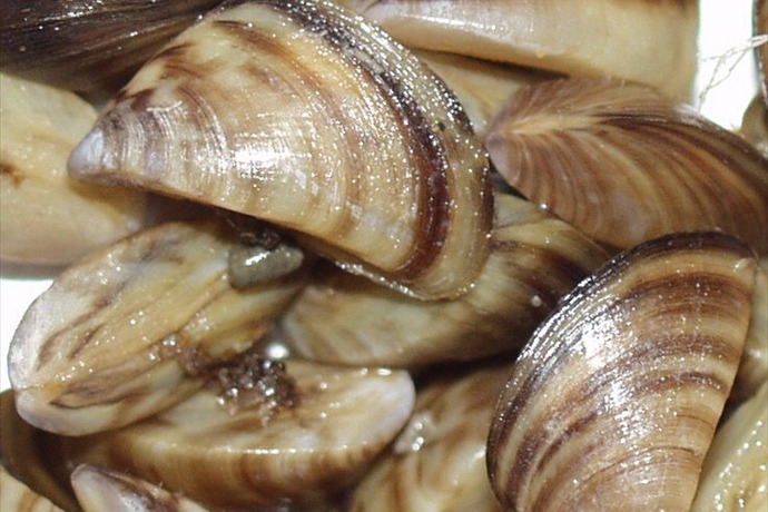 Zebra mussels are small shellfish that can spread rapidly once introduced into a body of water._-4704170879110528168