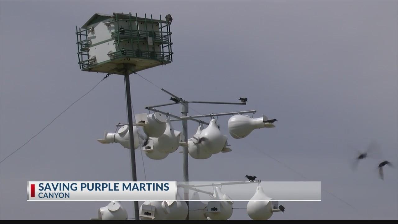 Pantex biologists saving purple martins