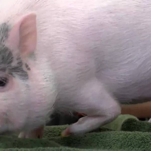 WT engineering students build prosthetic for Peg the pig